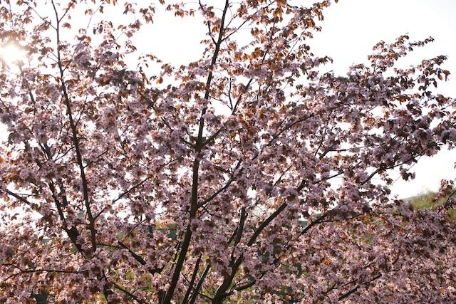 Hanami (花見) i Gårdsten. Körsbärsblommorna har slagit ut. Underbart.