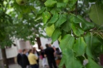 Päronträd på gården ett stenkast från Linnégatan.