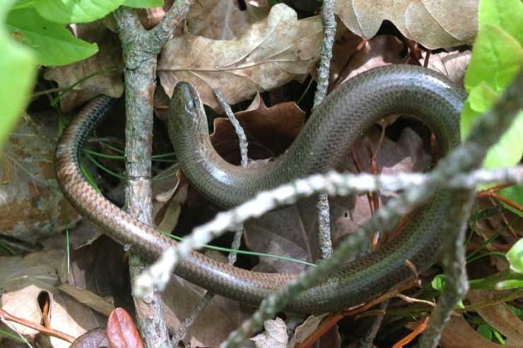 Ormen på väg tillbaka till Vättlestugan.