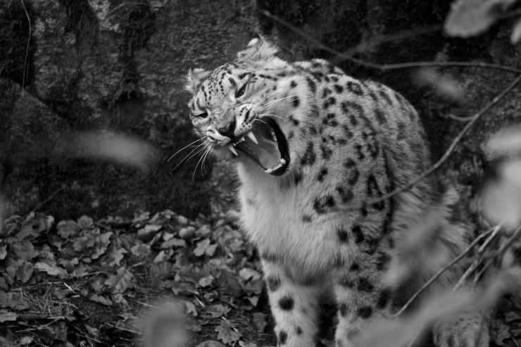 Snöleoparden är alltid mäktig att beskåda.